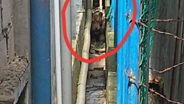 Harimau Liar Terjebak di Lorong Pasar, Siapa Bisa Menolong?