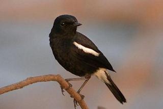 Download Suara Burung Decu Gacor
