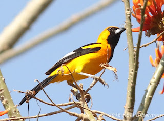 White-edged Oriole