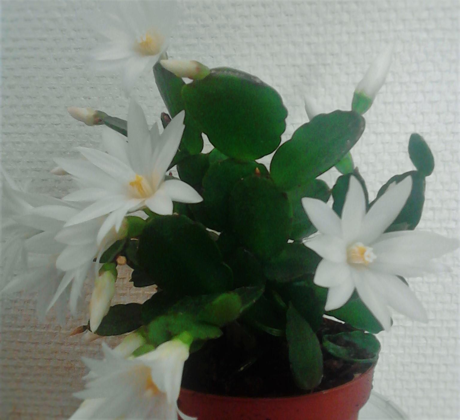 La ventana de javiruli plantas de interior 31 cactus de pascua hatiora graeseri - Cactus de interior ...
