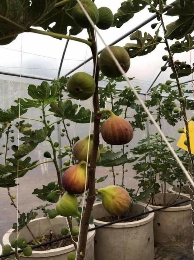 Bibit buah tin Jumbo Red Palestine sangat produktif Pagaralam