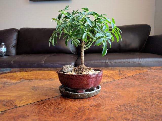 Schefflera: The only bonsai you won't kill