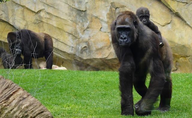 El-pequeño-gorila-Félix-cumple-un-año-en-BIOPARC