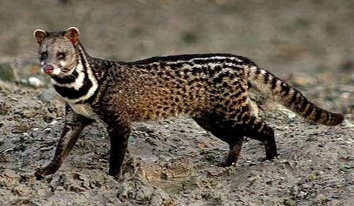 Image result for civet cat