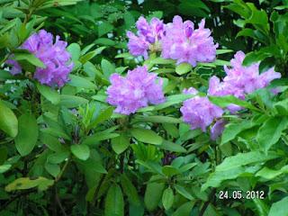 Rhododendron-orman gülü