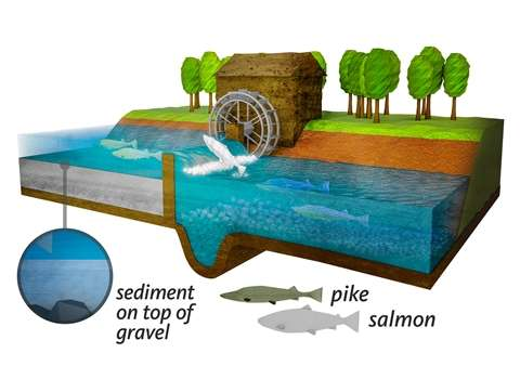 Medieval water power initiated collapse of salmon stocks