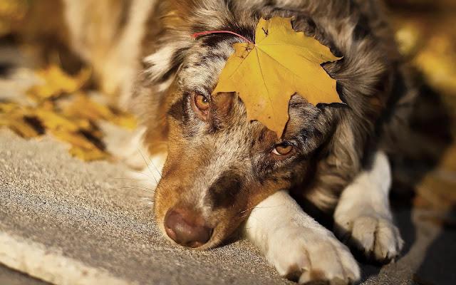 Herfstfoto met een hond met een herfstblad op zijn kop