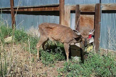 Deer with CWD.