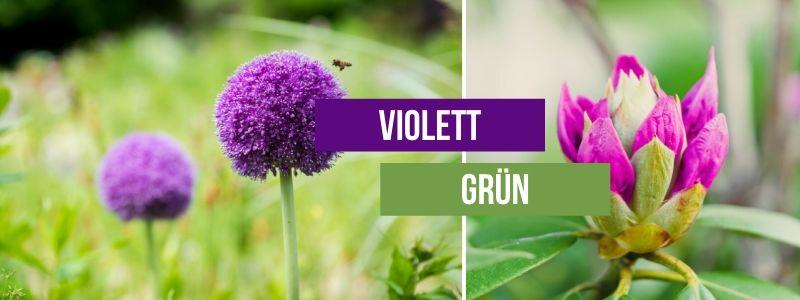 violett-grün-kombinieren
