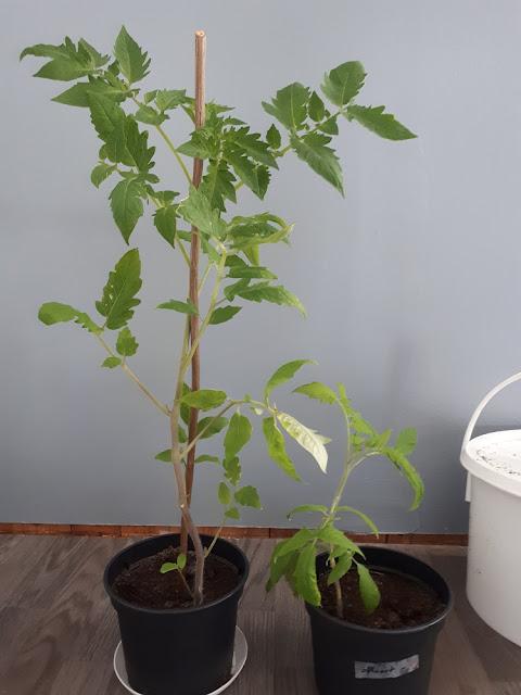 tomaatti taimi