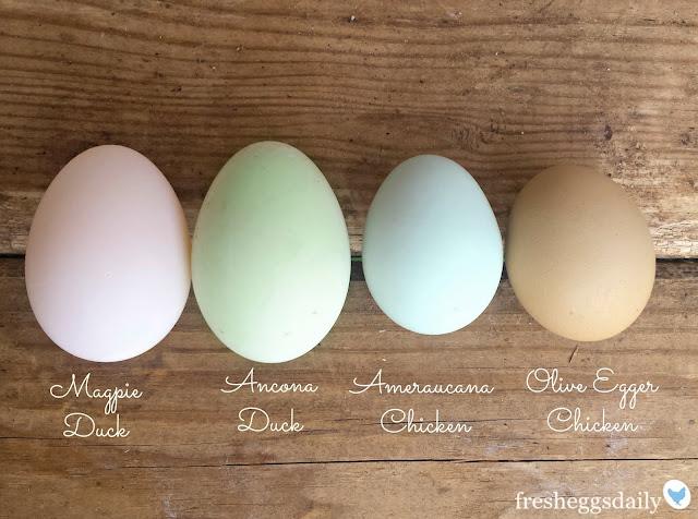 Blue Copper Maran Eggs