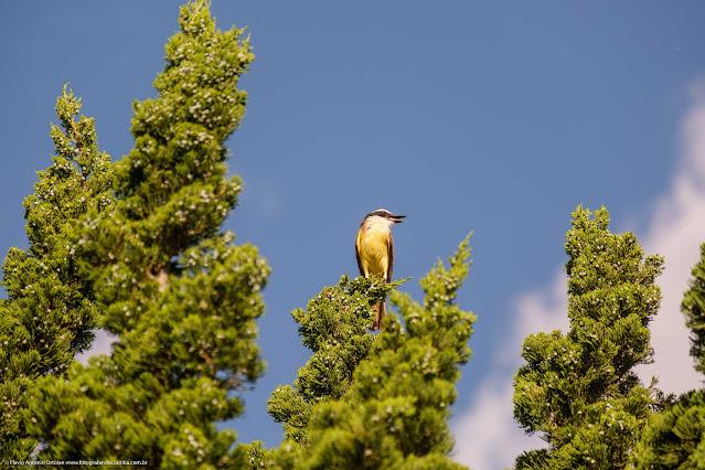 Bem-te-vi (Pitangus sulphuratus) no topo de uma árvore