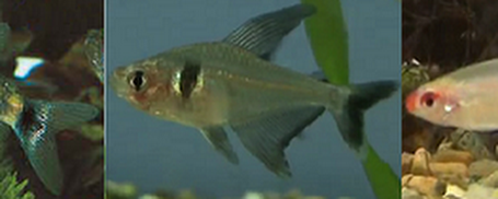 All About Aquarium Fish: Studying South American Tetras Needs