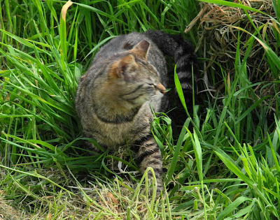 tabby wild cat, really a barn cat, exploring and on alert