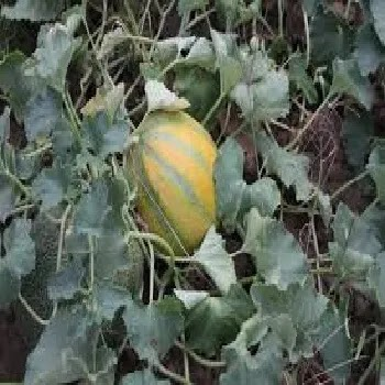 गोड भोपळा, sweet gourd vegetables name in Marathi