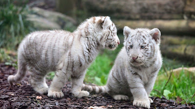 white tiger-small-cute-sweet animals