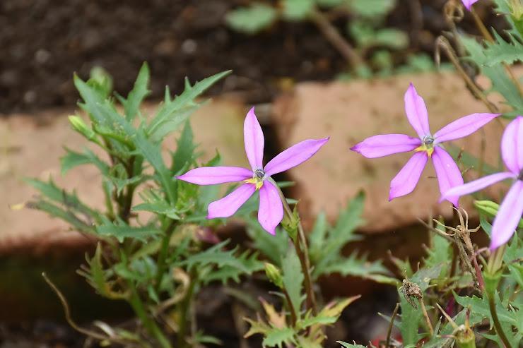 紫色の細長い5つの花びらを広げるイソトマ