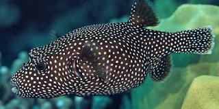 ng Dilakukan Koki Saat Memasak Ikan Buntal  Kabar Terbaru- CARA MEMASAK IKAN BUNTAL YANG BENAR