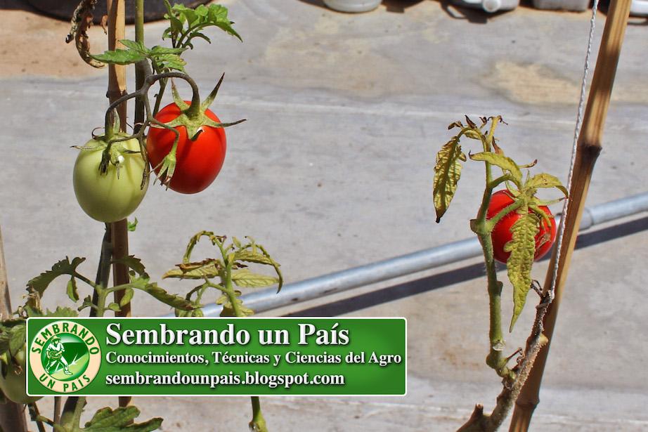 fruto de tomate con maduración completa en planta