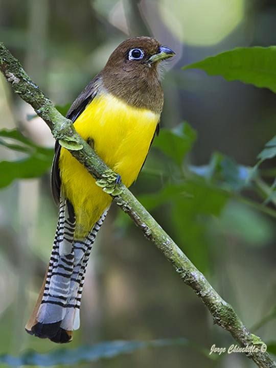 aves de Misiones Surucua amarillo