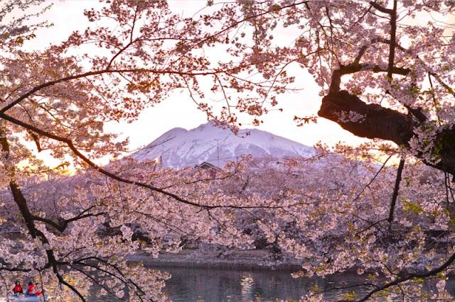 Cherry Blossom in Aomori
