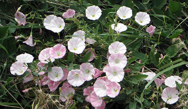 Pink and White Creeping Morning Glories