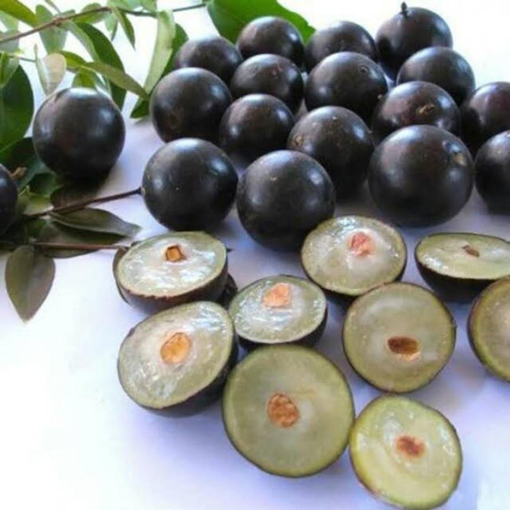 Bibit Buah Anggur Brazil Sabara Batu