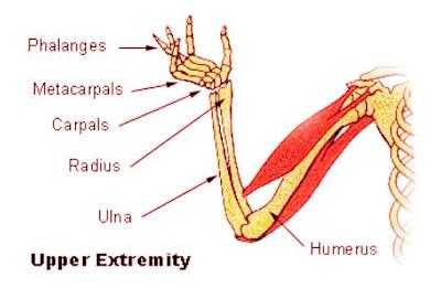 Fungsi Tulang Hasta Atau Ulna