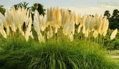 Pampas grass,