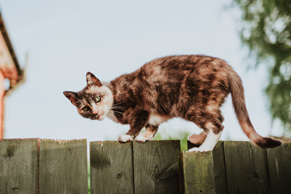 tortoiseshell cat standing on top of a fence