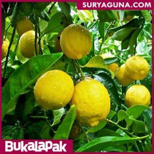 Jual Bibit Lemon Kualitas Unggul