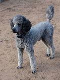 Grey Poodle Dog