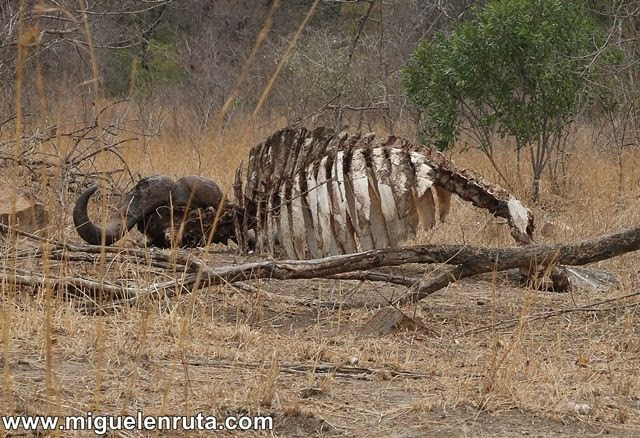 Búfalo-muerto-Berg-En-Dal-Kruger