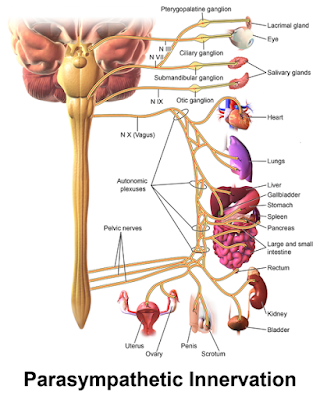 Parasympathetic Innervation.