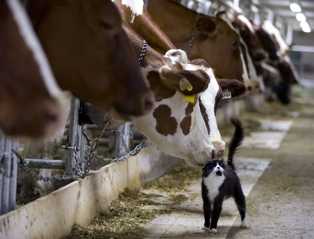 70 Of The Most Touching Photos Taken In 2015 - Dairy cows nuzzle a barn cat as they wait to be milked at a farm in Granby, Quebec.