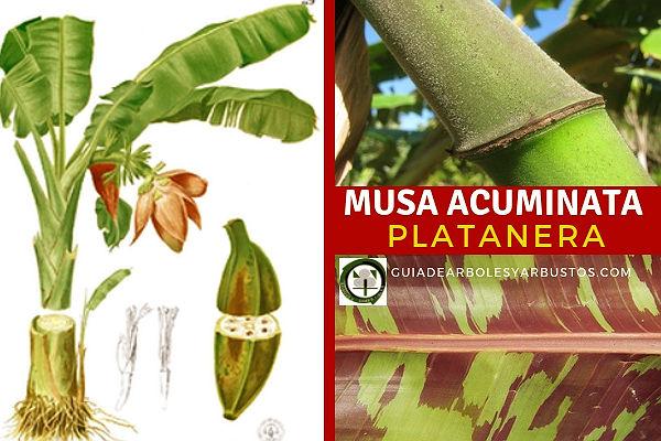 Platanera, Musa acuminata, tiene hojas alternas, nacen enrolladas del cogollo o tallo central