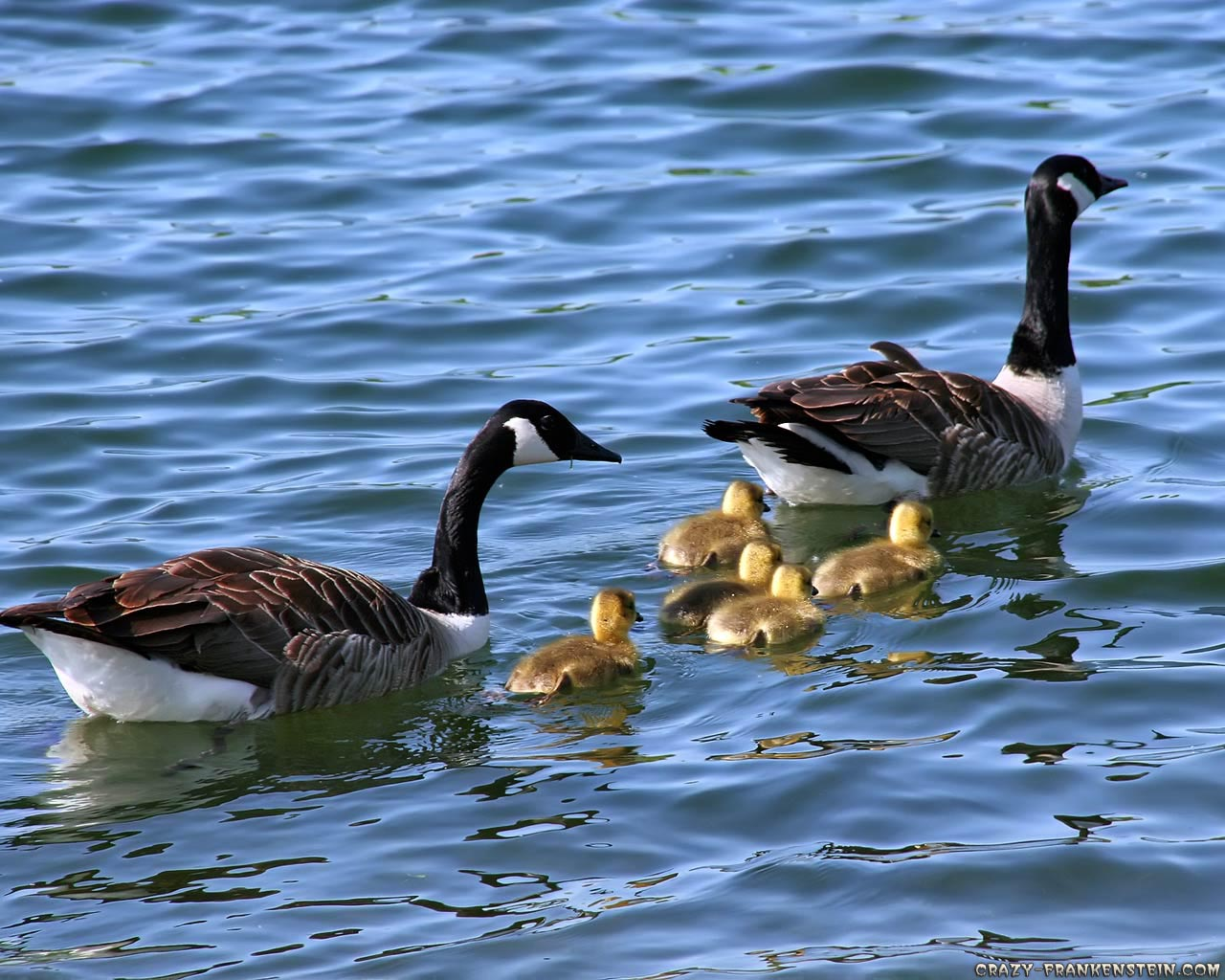 Geese Wallpapers   Fun Animals Wiki, Videos, Pictures, Stories