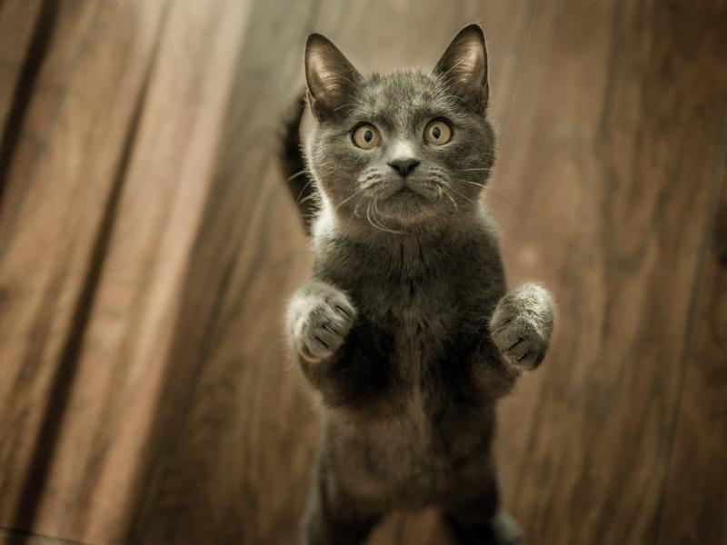 kot, nadmierna wokalizacja kot, kot dużo miauczy, kot strasznie miauczy, kot ciągle miauczy, kot zawodzi, kot ruja, kot niekastrowany, kot zaburzenia separacyjne, kocia wokalizacja, kot problem behawioralny, koci behawiorysta, kot warszawski
