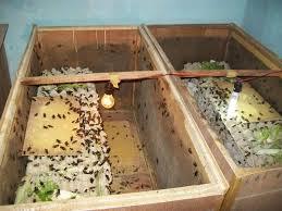 Penetasan telur jangkrik secara konvensional/tradisional