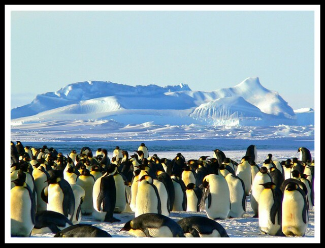 Emperor Penguins Antarctic life animal,penguins,flightless birds,aquatic birds