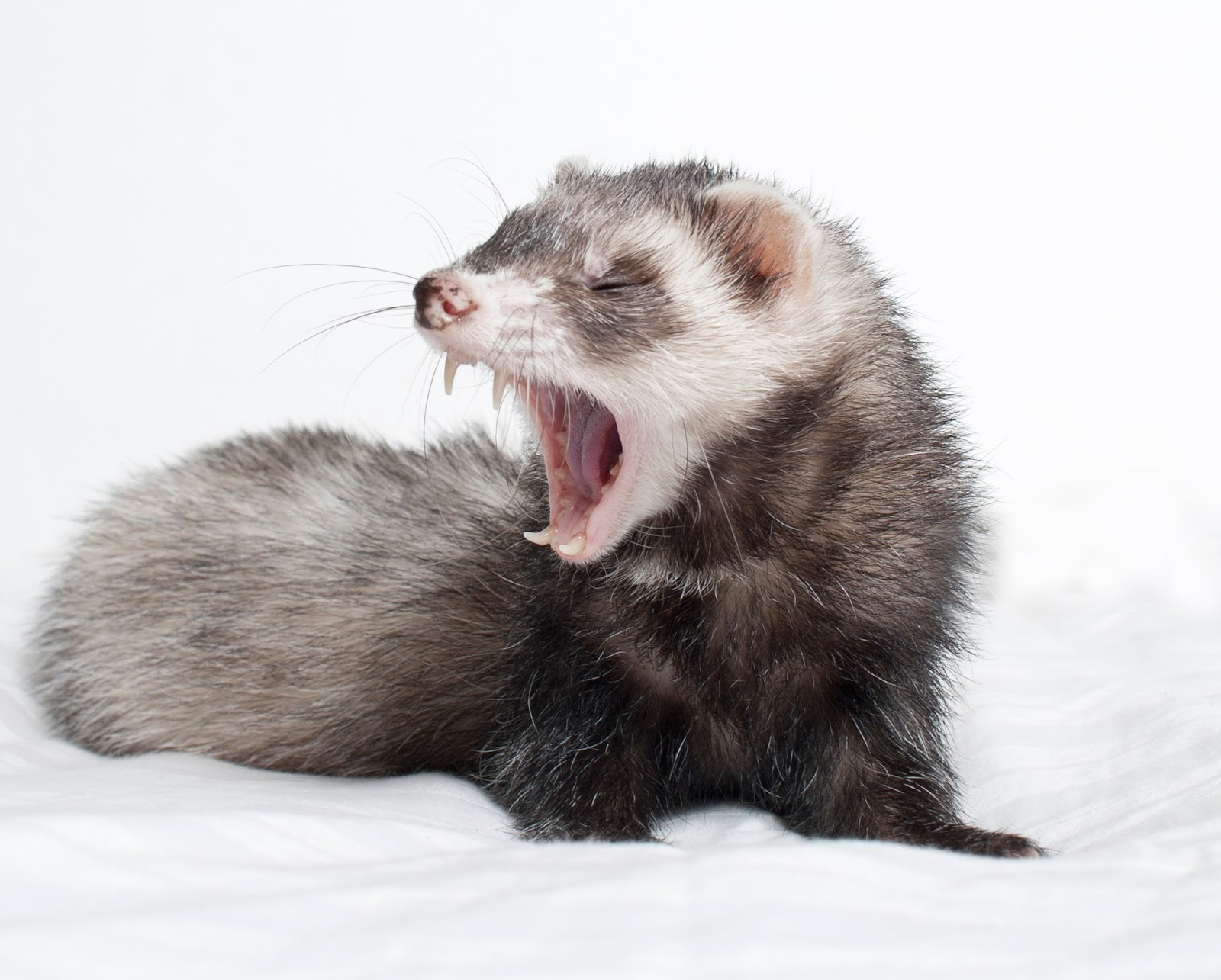 Every Day Is Special: April 2 – National Ferret Day