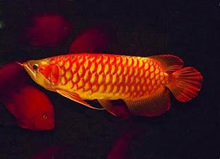 Sisik Ikan Arwana Yang Bagus