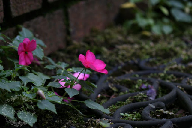 Volunteer impatiens coming up through the filigree mat.