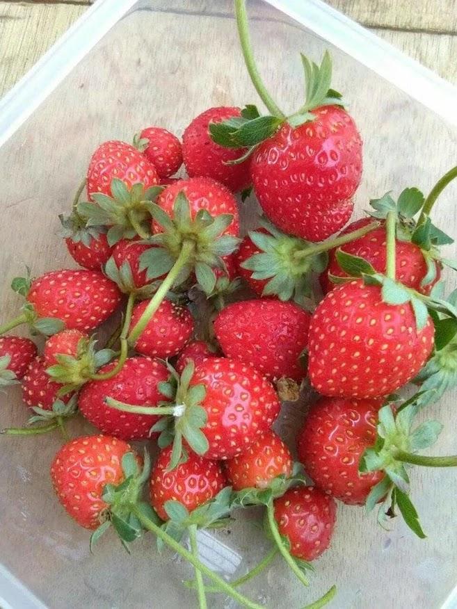 Bibit Tanaman Buah Stroberi Strawberry Sudah Adaptasi Daerah Panas Jawa Barat
