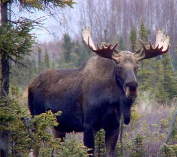 Canadian Moose Pictures | Fun Animals Wiki, Videos