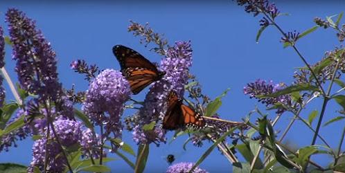 Mariposas en Madoo Garden