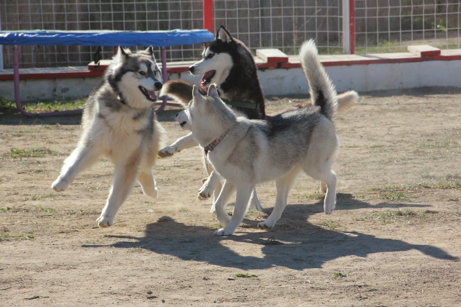 Foto Quedada Nordicos de Noviembre Siberian Husky Club Valencia