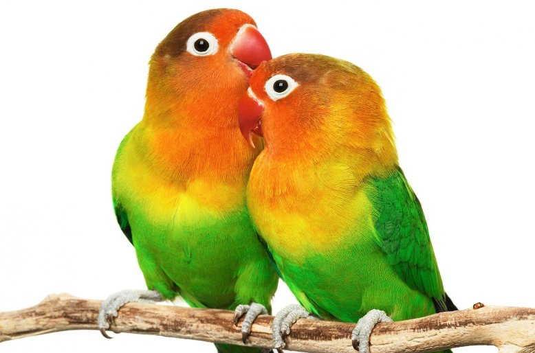 Cara Membedakan Antara Burung Lovebird Jantan dan Betina