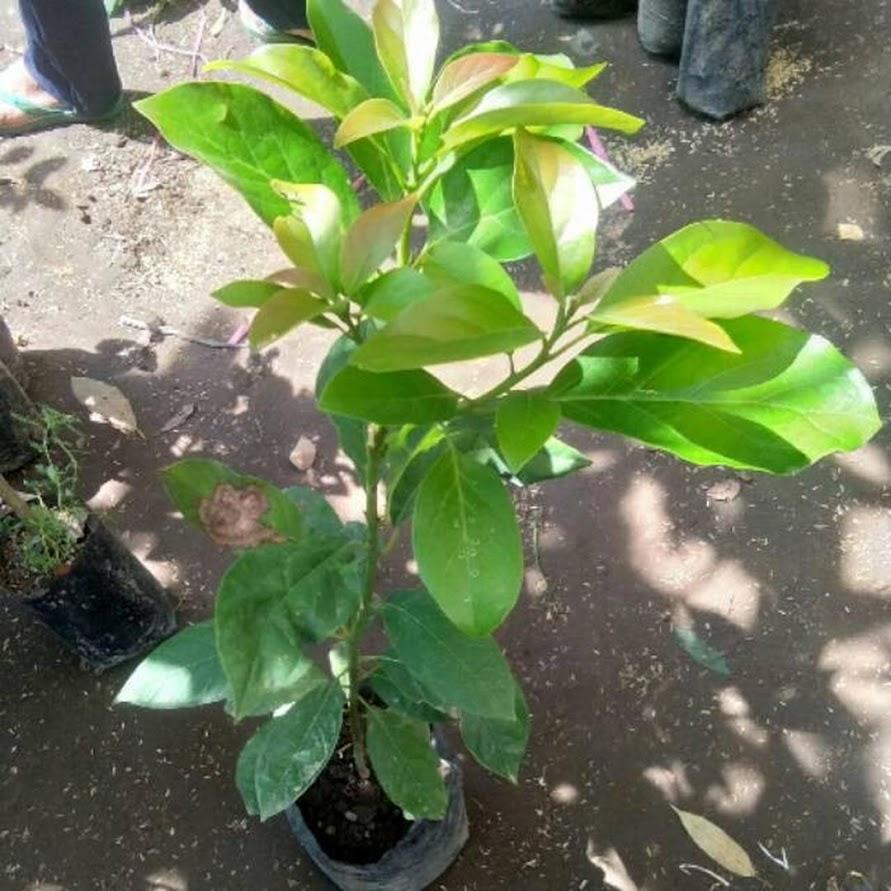 Bibit tanaman buah alpukat tanpa biji cepat berbuah Pasuruan