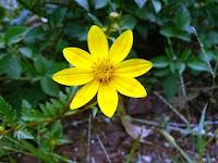 Adey Abeba (Ethiopia's September Flower)